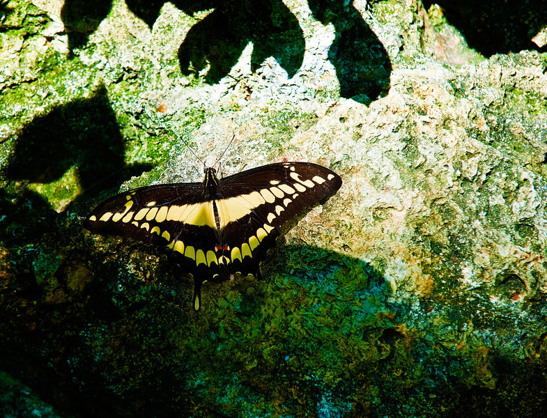 Butterfly_Giant Swallowtail_DDD5142