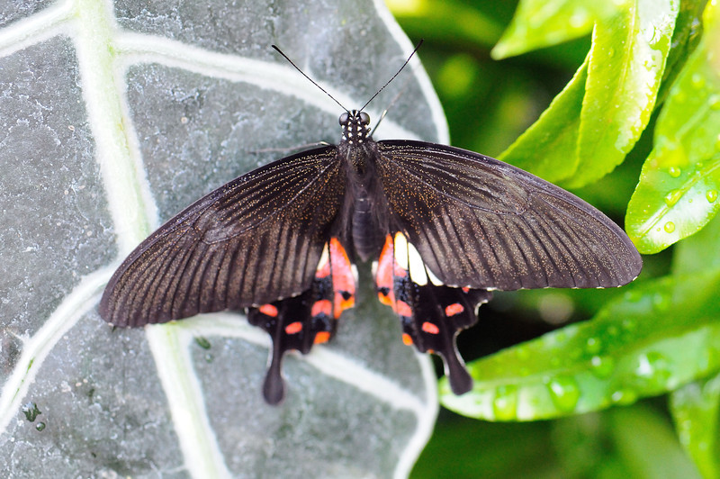 Butterfly_Ruby-spotted Swallowtail_HDZoo_DON1759