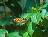 Butterfly_Large Tiger_DDD5139