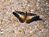 Butterfly_Clipper_DDD5241