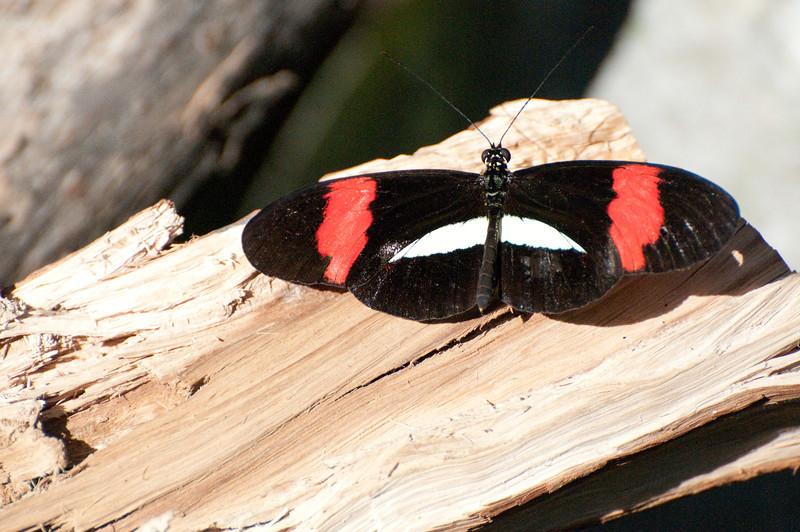 Butterfly_Small Postman_DSC2485