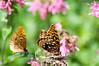 Butterfly_2 Aphrodite_Schramm Park_DON1967