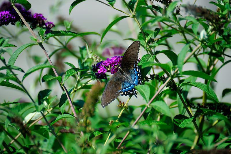 Butterfly_Eastern Tiger Swallowtail_Female Dark Version_Haworth Park_DDD2379 (2)