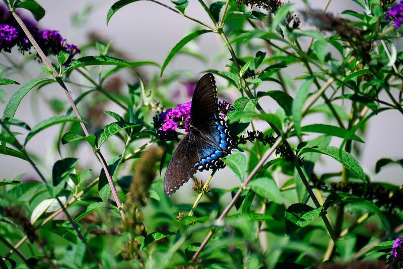 Butterfly_Eastern Tiger Swallowtail_Female Dark Version_Haworth Park_DDD2378