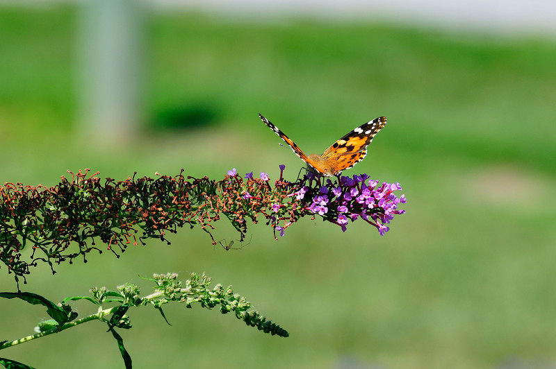 Butterfly_Painted Lady_Haworth Park_DON2071