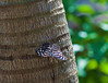 Butterfly_Banded Purple Wing_DDD5247