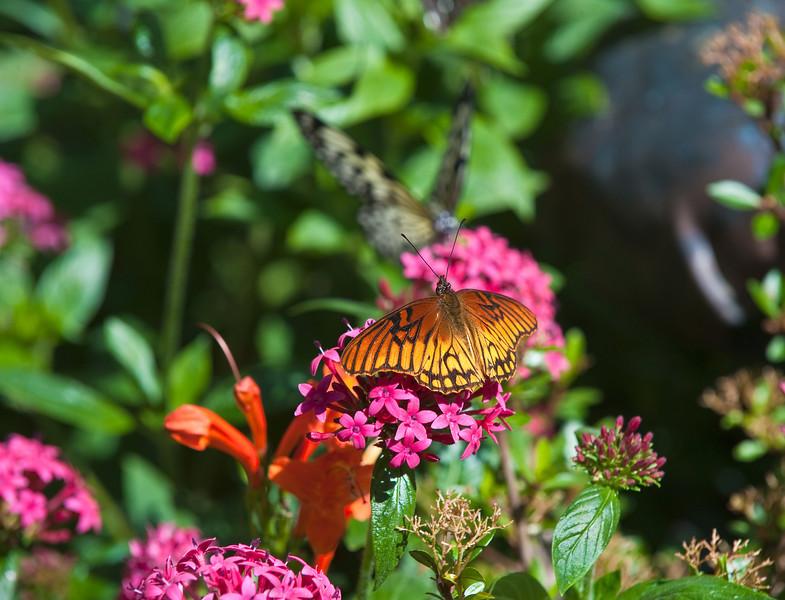 Butterfly_Mexican Silverspot_DDD5212