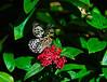 Butterfly_Paper Kite_DDD5072
