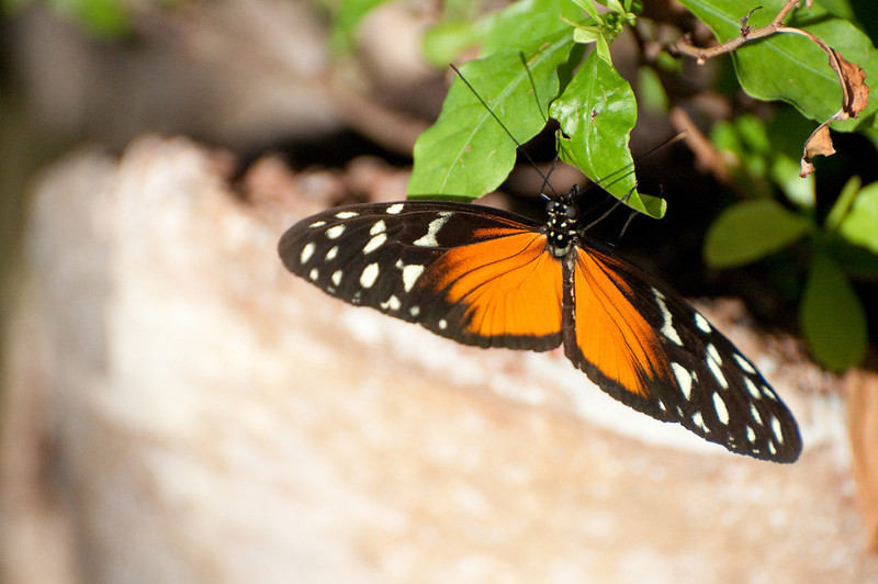 Butterfly_Heliconius Hecale_DSC2610