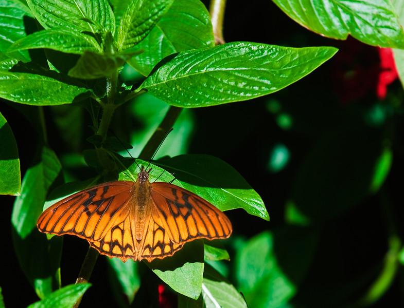 Butterfly_Mexican Silverspot_DDD5075