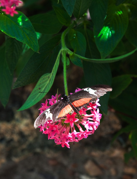 Butterfly_Mexican Heliconian_DDD5203