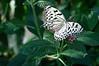 Butterfly_Paper Kite_DSC2457