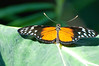 Butterfly_Heliconius Hecale_DSC2512