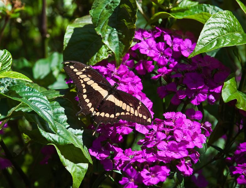 Butterfly_Giant Swallowtail_DDD5207
