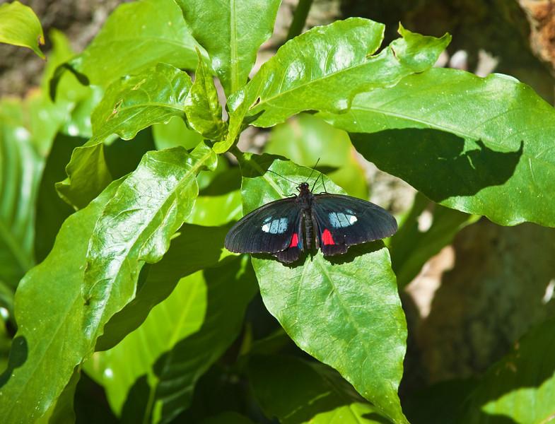 Butterfly_Pink Cattleheart_DDD5127