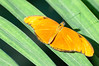 Butterfly_Orange Julia_DSC2428