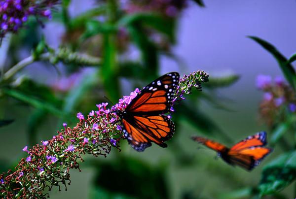Butterfly_Monarchs_Haworth Park_DDD2357