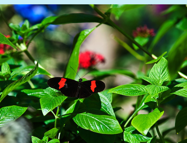 Butterfly_Heliconius_cyrbia_DDD5088