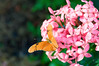 Butterfly_Julia Heliconian_HDZoo_DON1751