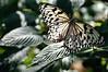 Butterfly_Paper Kite_DSC2463