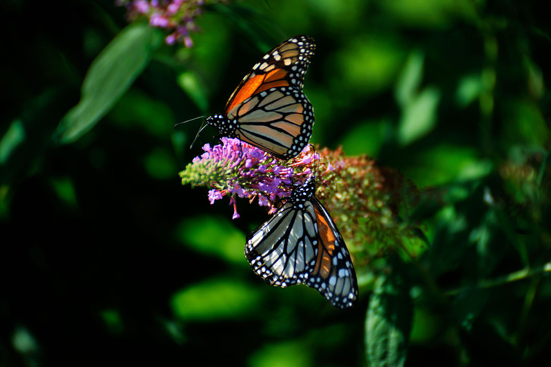 Butterfly_Monarchs_Haworth Park_DDD2444_1