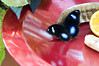 Butterfly_The Great Egg Fly_DSC2504