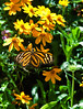 Butterfly_Large Tiger_DDD5052