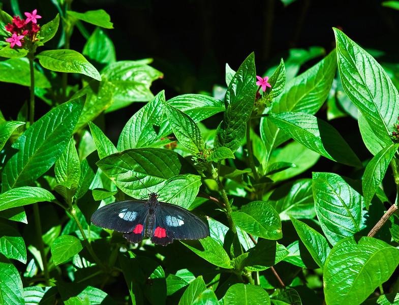 Butterfly_PinkCattleheart_DDD5154