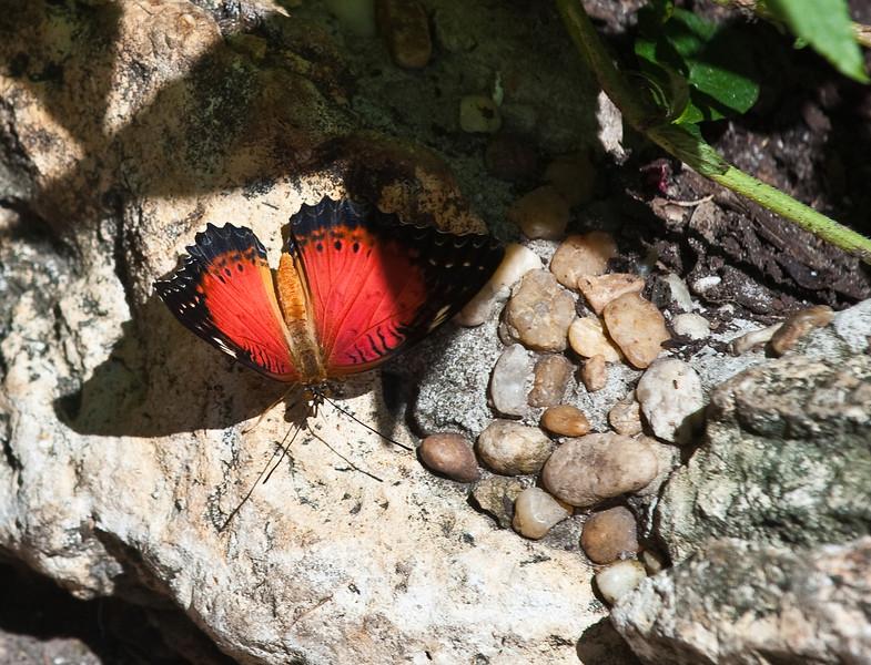 Butterfly_Tiger Longwing_DDD5220