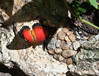 Butterfly_Tiger Longwing_DDD5220