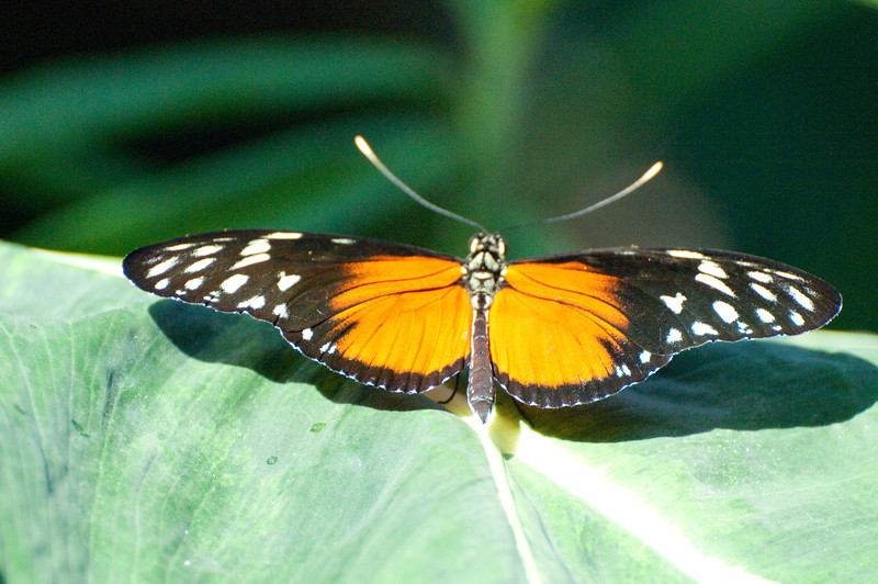 Butterfly_Heliconius Hecale_DSC2509