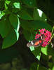 Butterfly_Mexican Heliconian_DDD5078