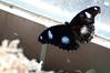 Butterfly_The Great Egg Fly_DSC2576