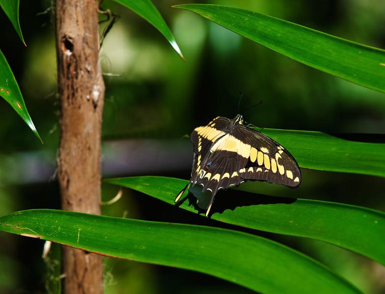 Butterfly_Giant Swallowtail_DDD5042