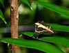 Butterfly_Giant Swallowtail_DDD5042