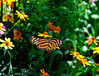 Butterfly_Large Tiger_DDD5211