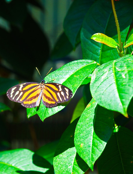 Butterfly_Large Tiger_DDD5141