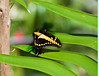 Butterfly_Giant Swallowtail_DDD5043