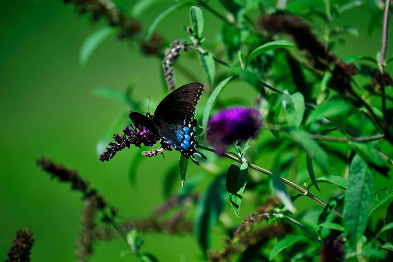 Butterfly_Eastern Tiger Swallowtail_Female Dark Version_Haworth Park_DDD2334