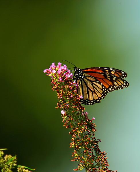 Butterfly_Monarch_Haworth Park_DDD2505