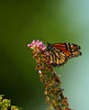Butterfly_Monarch_Haworth Park_DDD2505