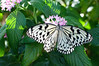 Butterfly_Paper Kite_DSC2479