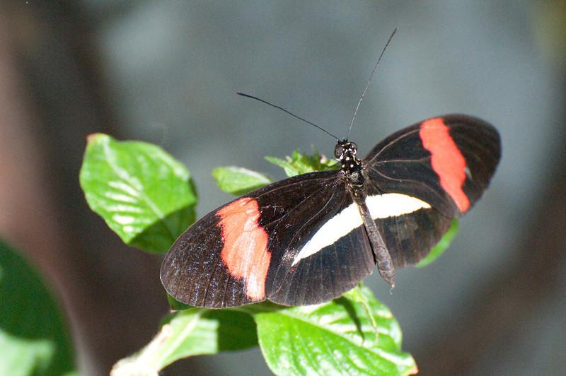 Butterfly_Small Postman_DSC2496
