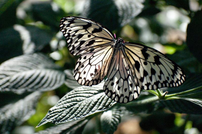 Butterfly_Paper Kite_DSC2464