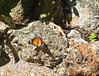 Butterfly_Plain Tiger_DDD5135