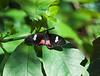 Butterfly_Pink Cattleheart_DDD5312