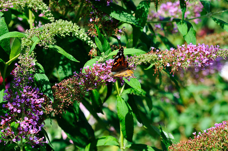 Butterfly_Painted Lady_Haworth Park_DON2053