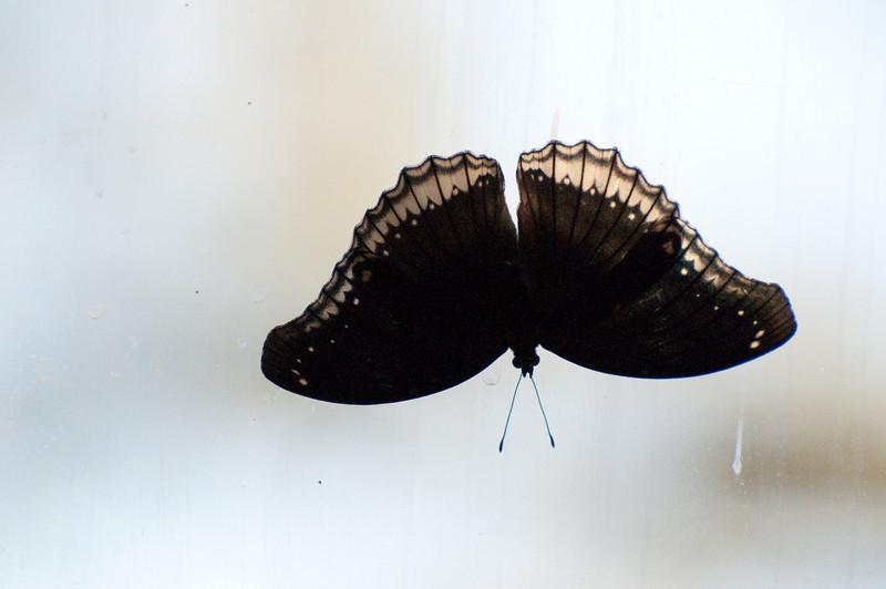 Butterfly_Mourning Cloak_DSC2502