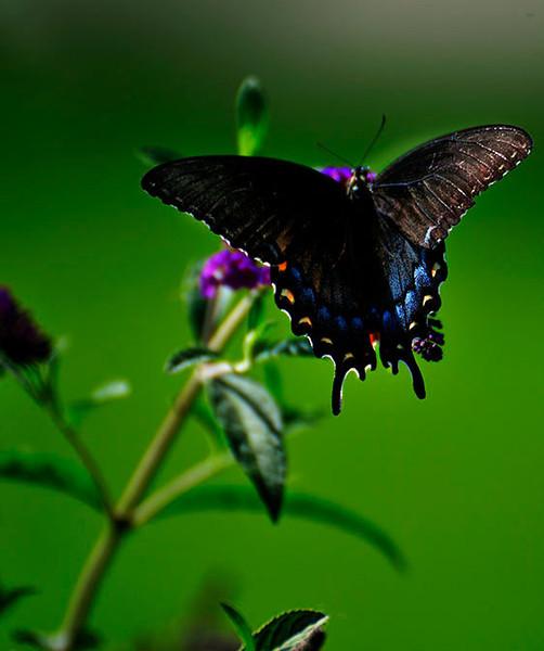 Butterfly_Eastern Tiger Swallowtail_Female Dark Version_Haworth Park_DDD2413
