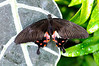 Butterfly_Rose Spotted Swallowtail_HDZoo_DON1760